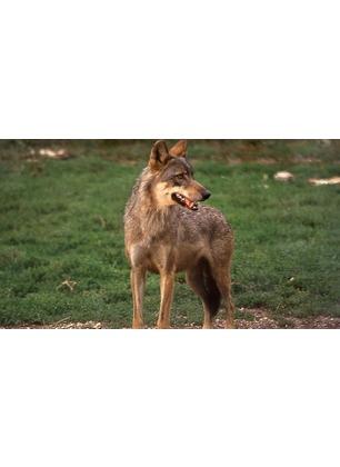 Il WWF risponde all'intervento del sindaco Chienni sui lupi