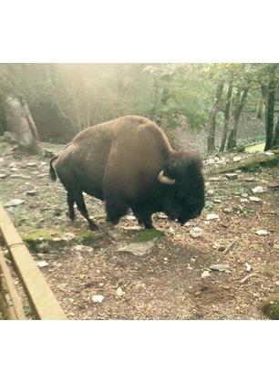 """Trasferimento di Arturo, il bisonte. Il sindaco: """"Abbiamo agito solo per il suo benessere"""""""
