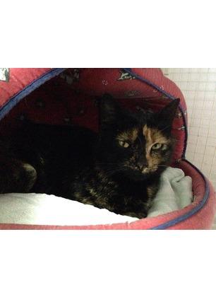 Giovane gattina, incinta, cade nella trappola dei bracconieri. Salvata e portata dal veterinario