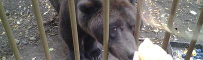 Orso 'Bruno', 38 anni e buone condizioni di salute. Amministrazione e veterinario rispondono alle polemiche