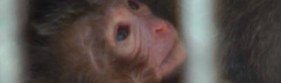 Dopo il trasferimento dal Parco è nato un altro piccolo macaco. Nella riserva di Almere stanno tutti bene