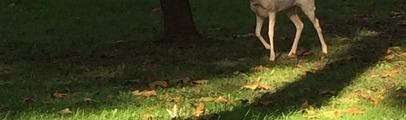 Daino albino a passeggio per la città. I vigili lo hanno preso e portato nei giardini della scuola Del Puglia