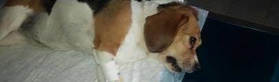 Avvelenate due cagnoline: una è morta, l'altra è in coma