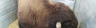 Il bisonte Arturo ha lasciato il Parco naturale e ha raggiunto le Marche