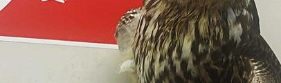 Falco pellegrino ritrovato ferito a Reggello: ora in cura al Centro recupero rapaci della Lipu di Vicchio di Mugello