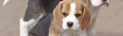I Beagle di Green Hill al canile Enpa di Forestello. Possibili affidi. Una decina le richieste di affido